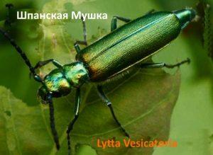 Шпанская Мушка металлически-зеленый жук
